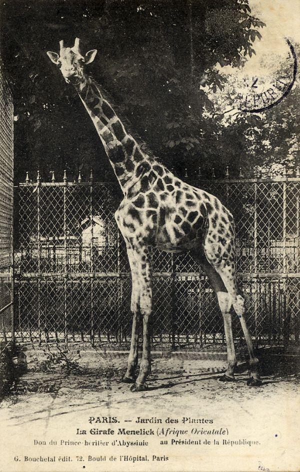 Wikipédia Jardin des Plantes, 1911, Ménélik la girafe